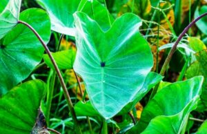 Taro Root (Colocasia) Makes use of, Recipes, Cures, Toxicity, Analysis