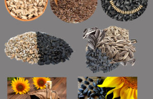 Sunflower seeds advantages for hair, well being and pores and skin